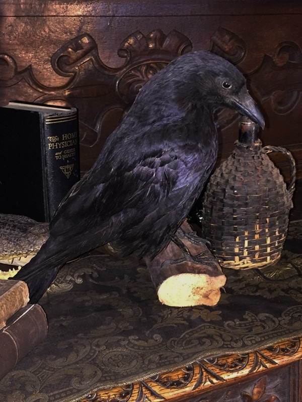 Vintage Taxidermy Crow Wall Mount